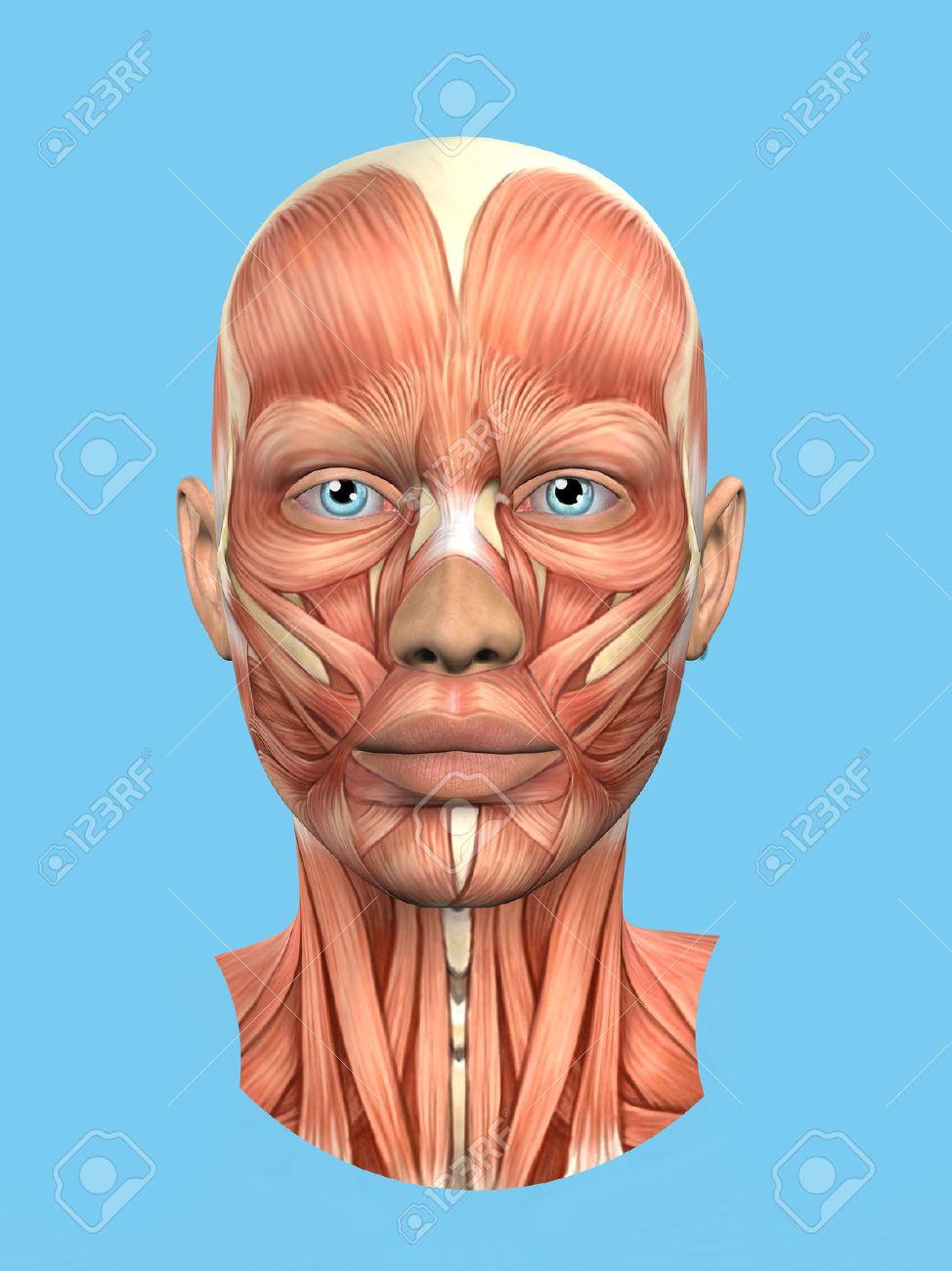Anatomie Vorderansicht Der Hauptgesichtsmuskeln Einer Frau ...