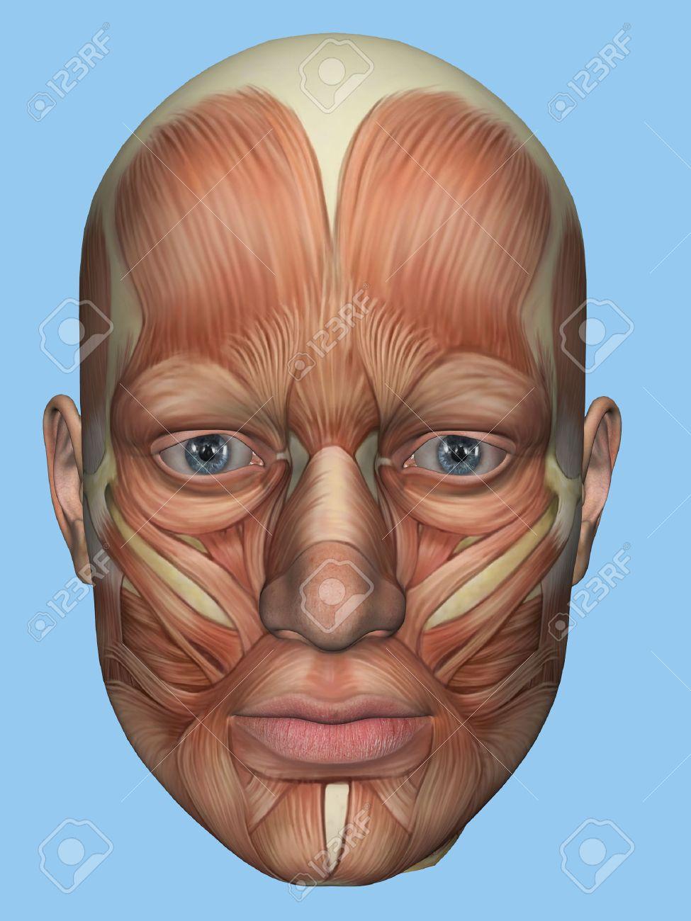Anatomie Vorderansicht Der Hauptgesichtsmuskeln Eines Männlichen ...