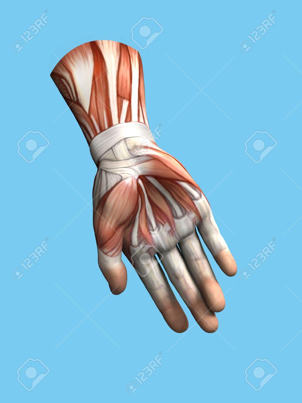 Vista Anatomía De Mano Y La Muñeca De Un Hombre Incluyendo Abductor ...