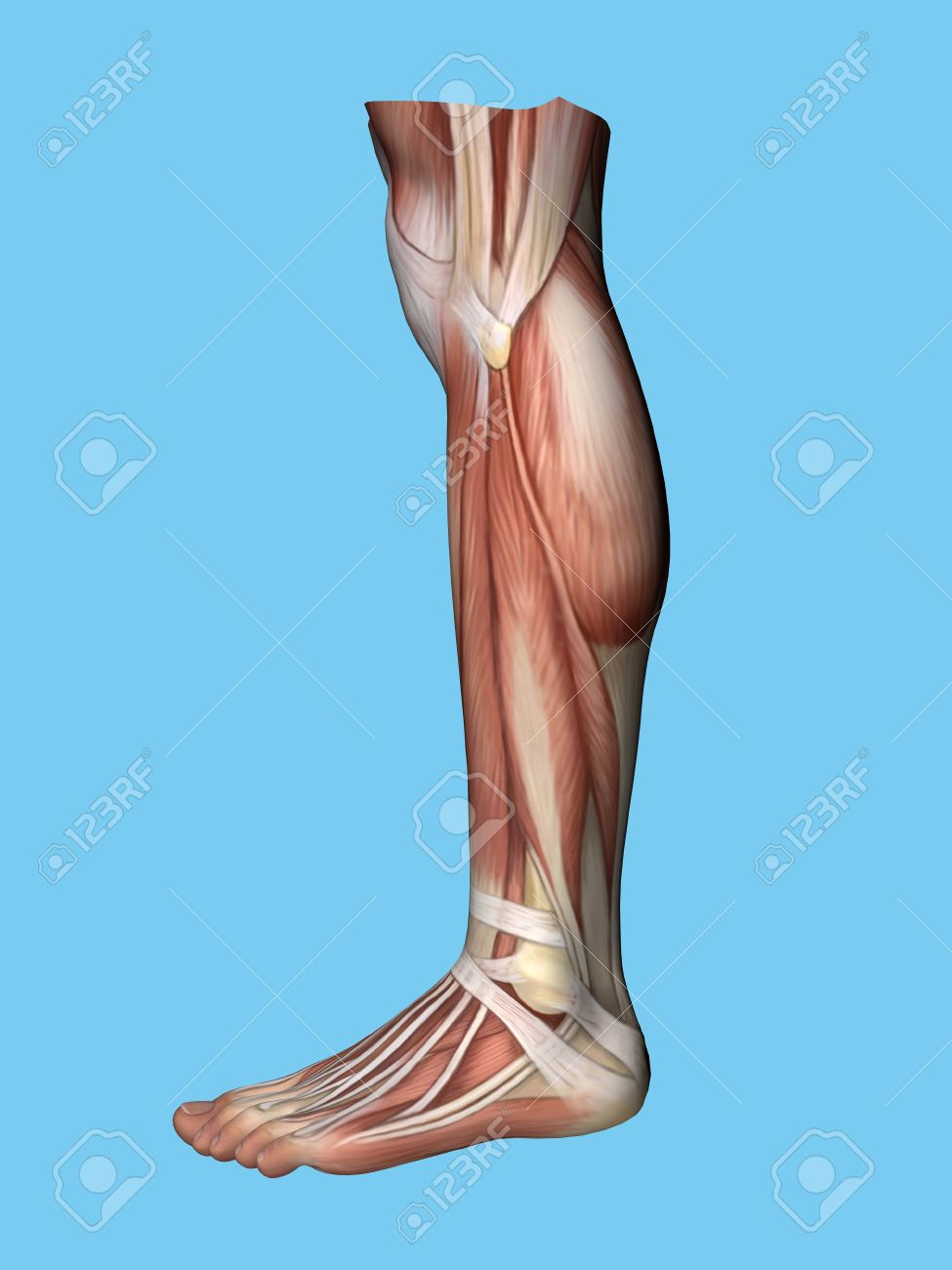 Anatomy Lateral Side View Of Leg And Foot Of A Man Including Stock