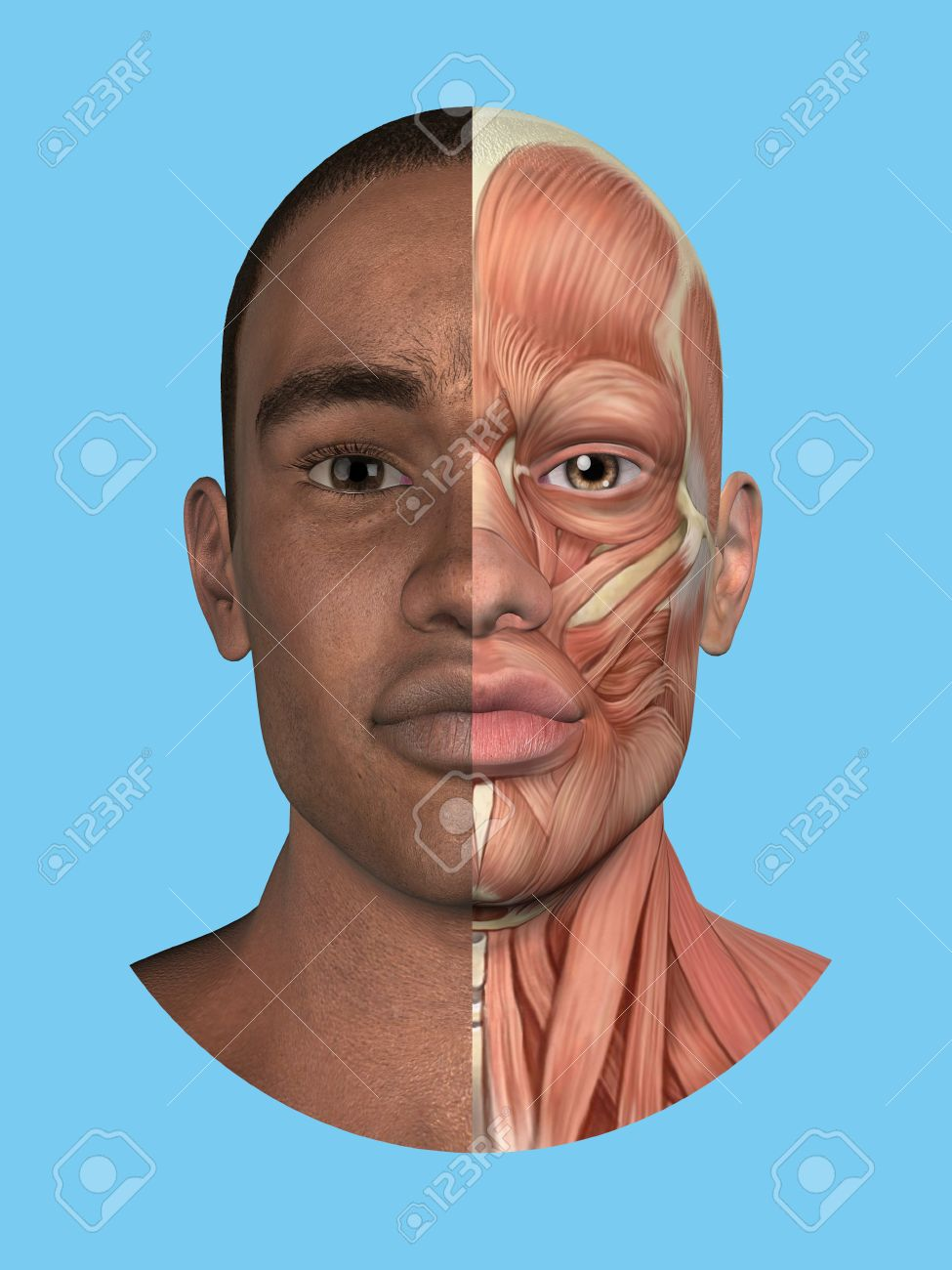 Anatomy Split Front View Of Face And Major Facial Muscles Of Stock