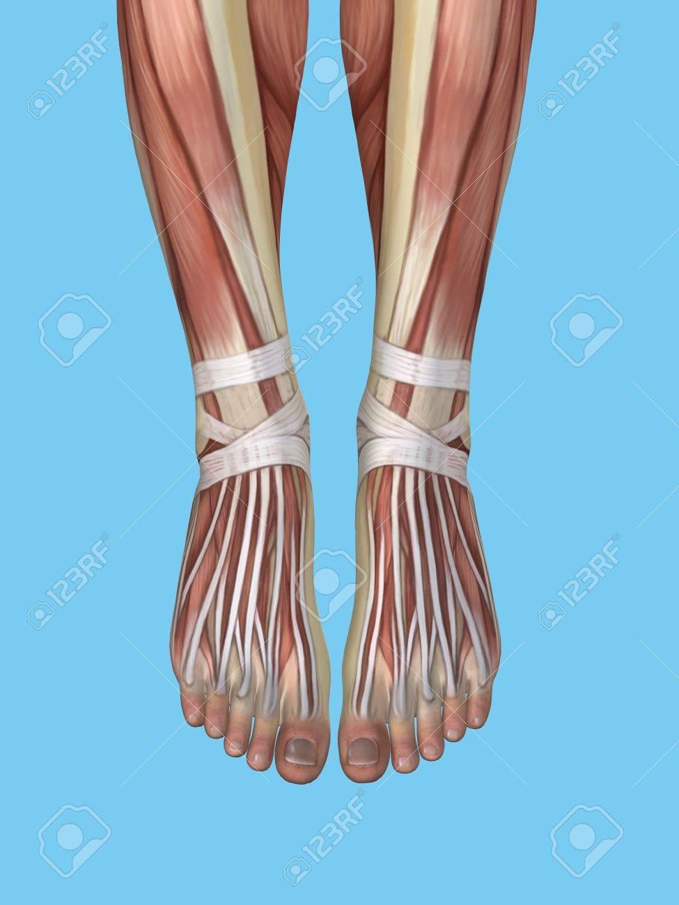 Anatomy Of Foot Featuring Extensor Digitorum Longus Tendons Stock