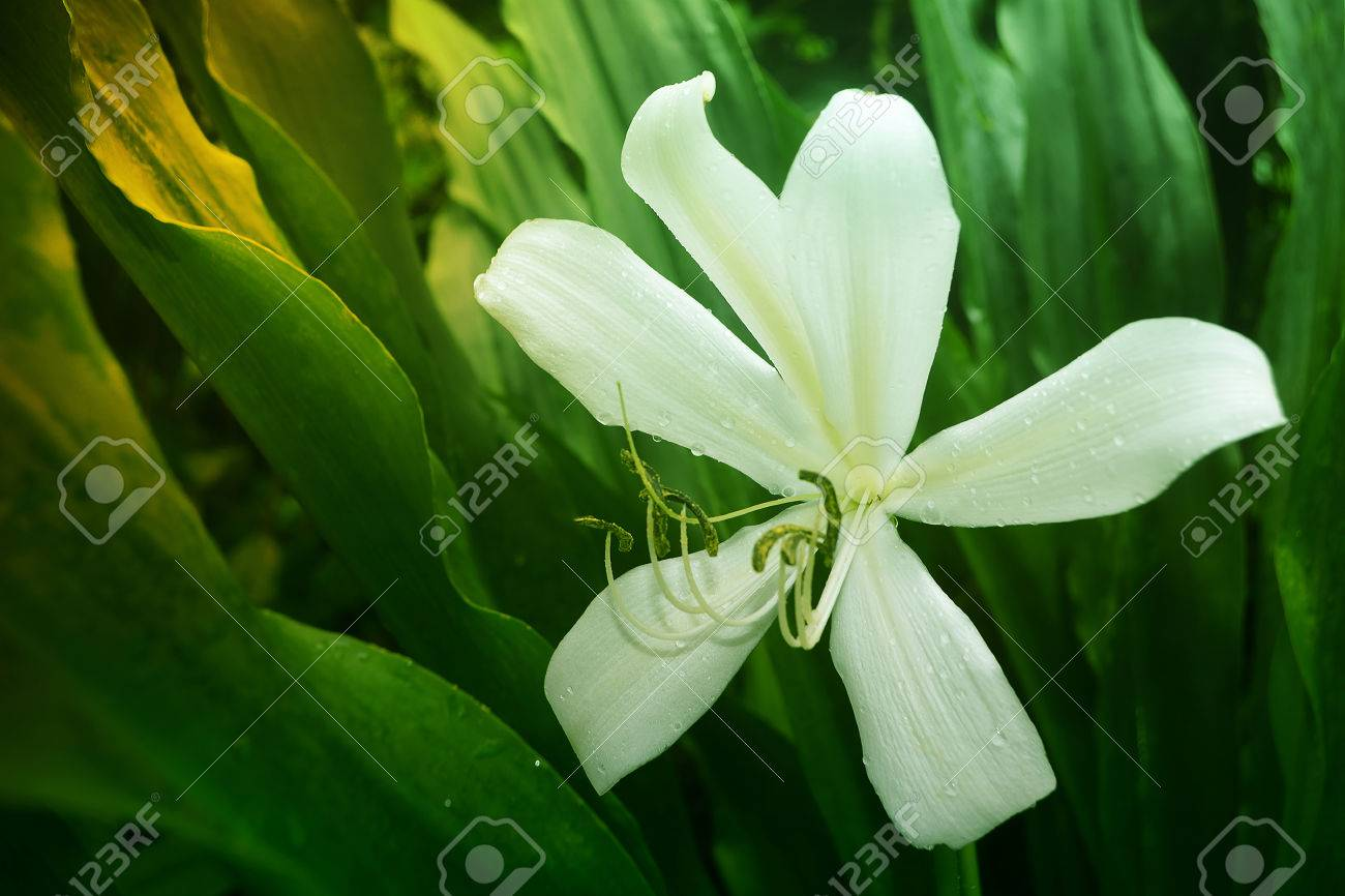 White Crinum Lily Flower Stock Photo Picture And Royalty Free Image