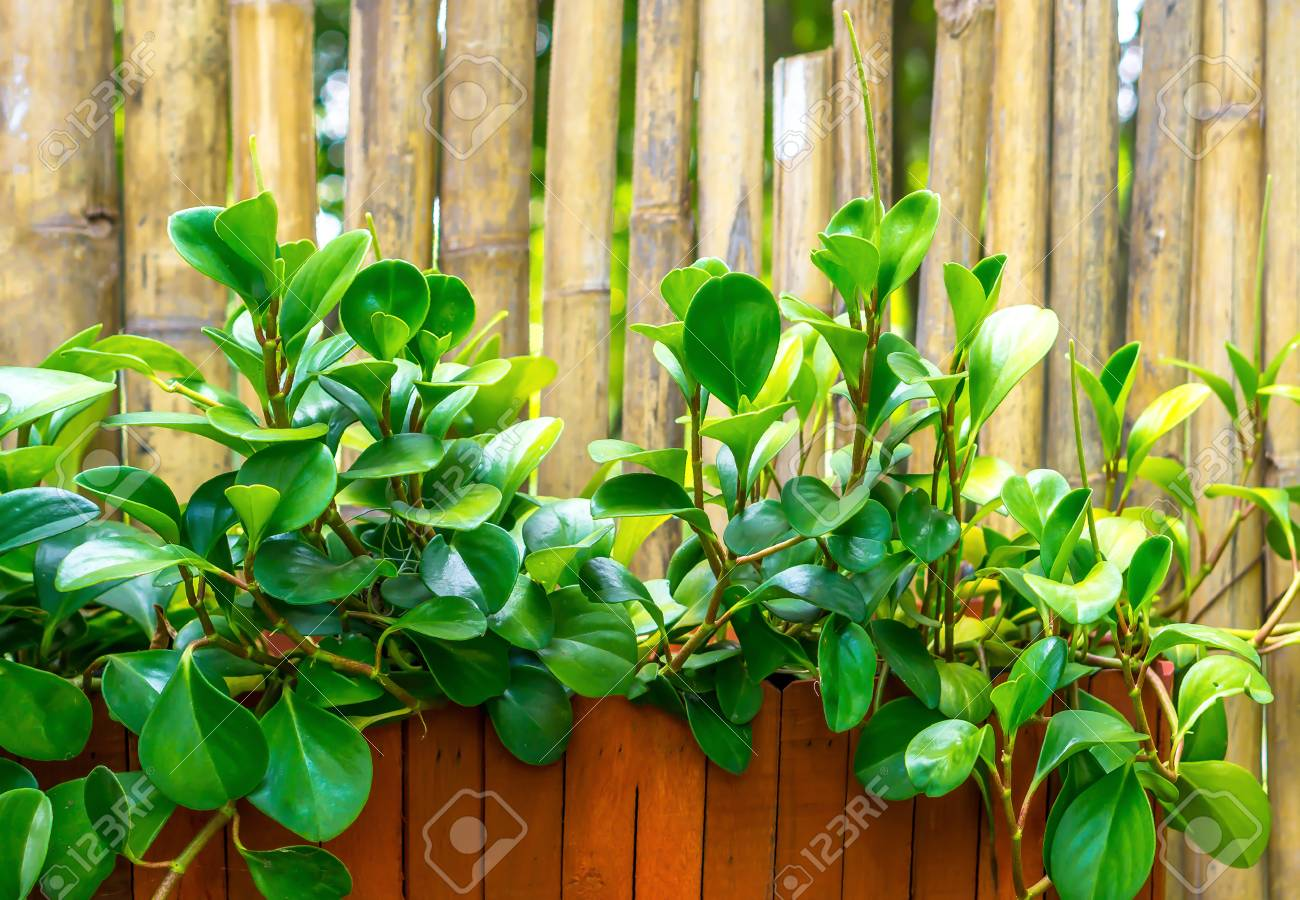 Green Plant In Brown Wooden Pot And Bammboo Walll Garden Decorate ...