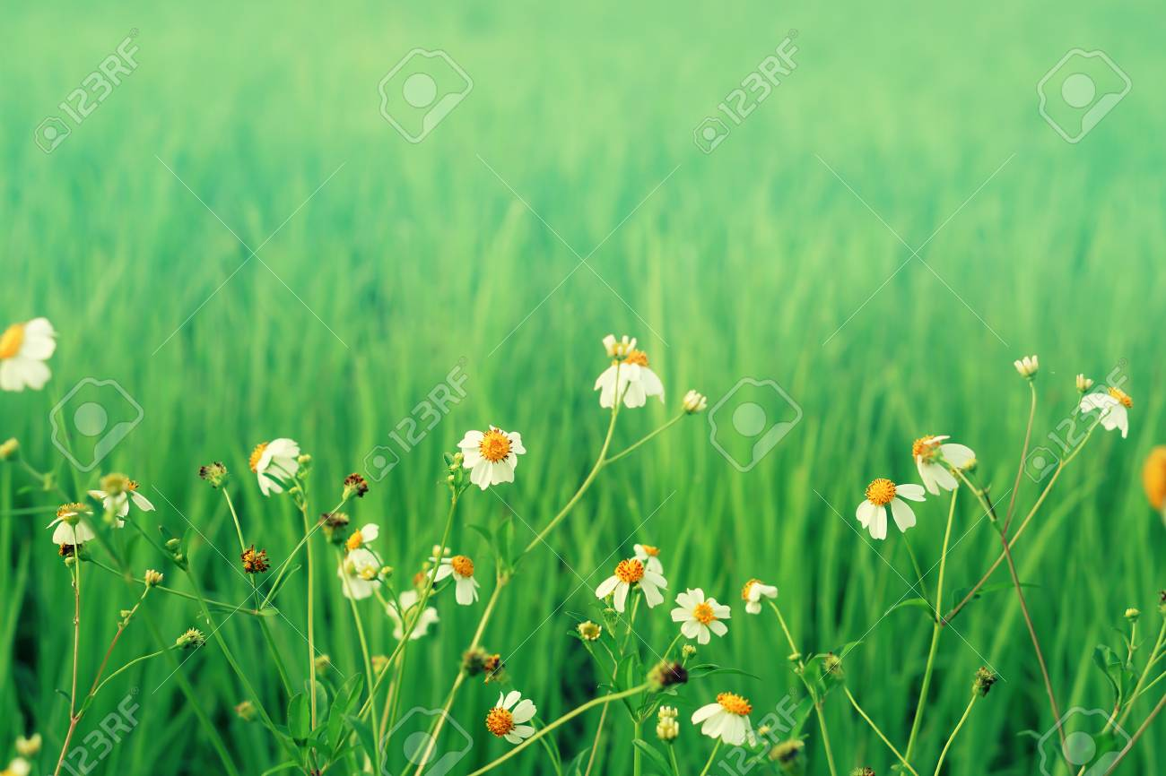 White Flower Blooming With Green Field Nature Relax Wallpaper