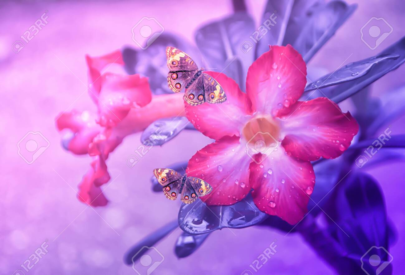 Pink Flower Blooming With Rain Drop And Brown Butterfly Fresh