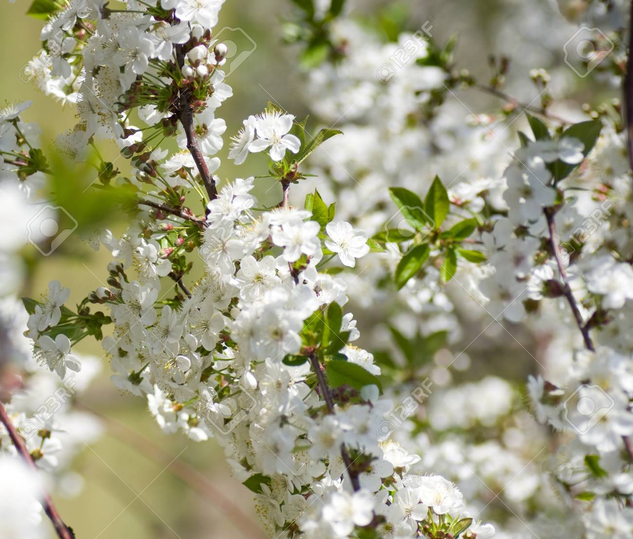 Blossoming garden in spring Stock Photo - 13595710