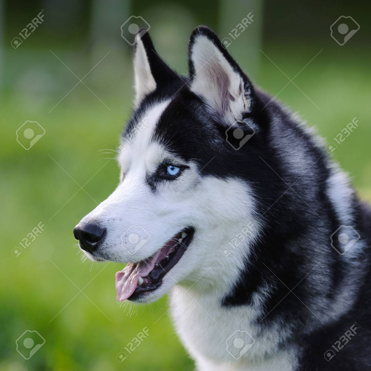 Siberian Husky Dog With Blue Eyes Outdoor In Summer Closeup Stock