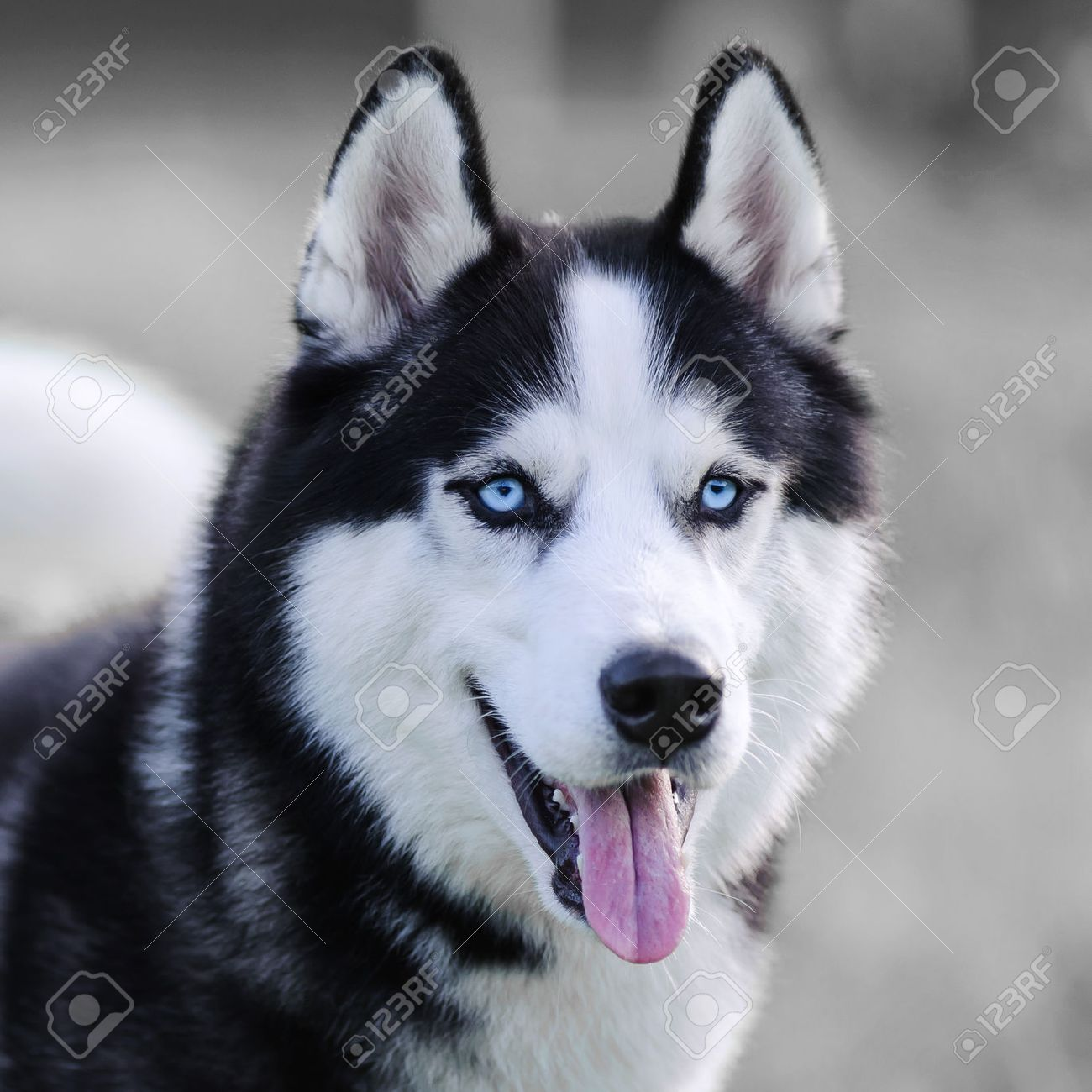 Siberian Husky Dog With Blue Eyes Outdoor Closeup Stock Photo