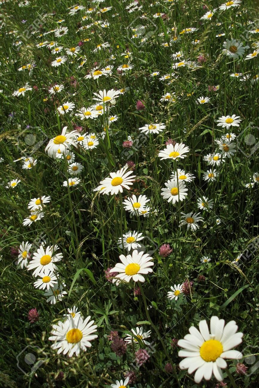marguerite ox-eye daisy meadow Stock Photo - 12811769