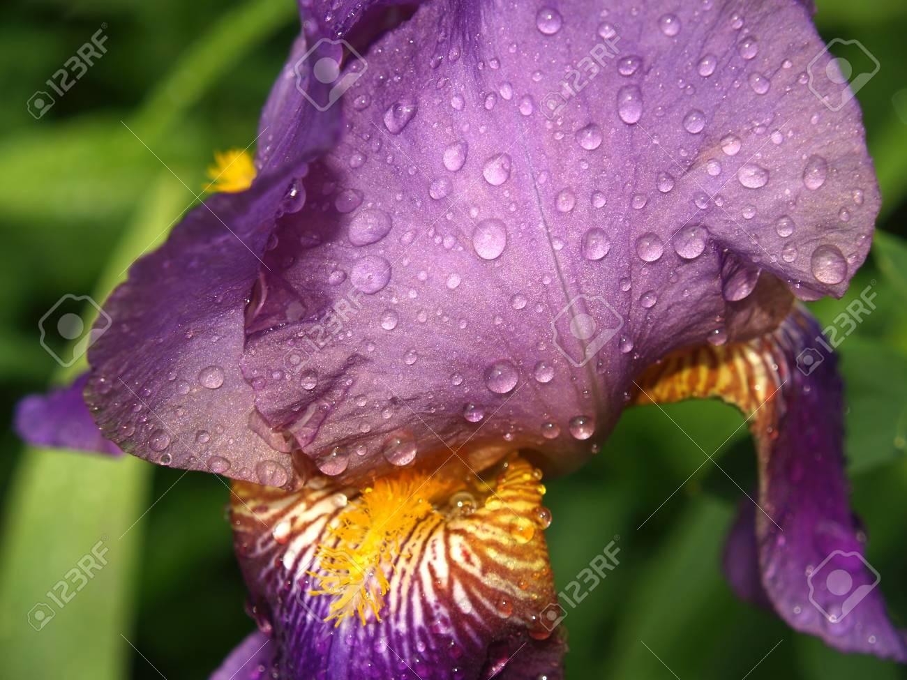 A close up of a violet garden iris Stock Photo - 13998419