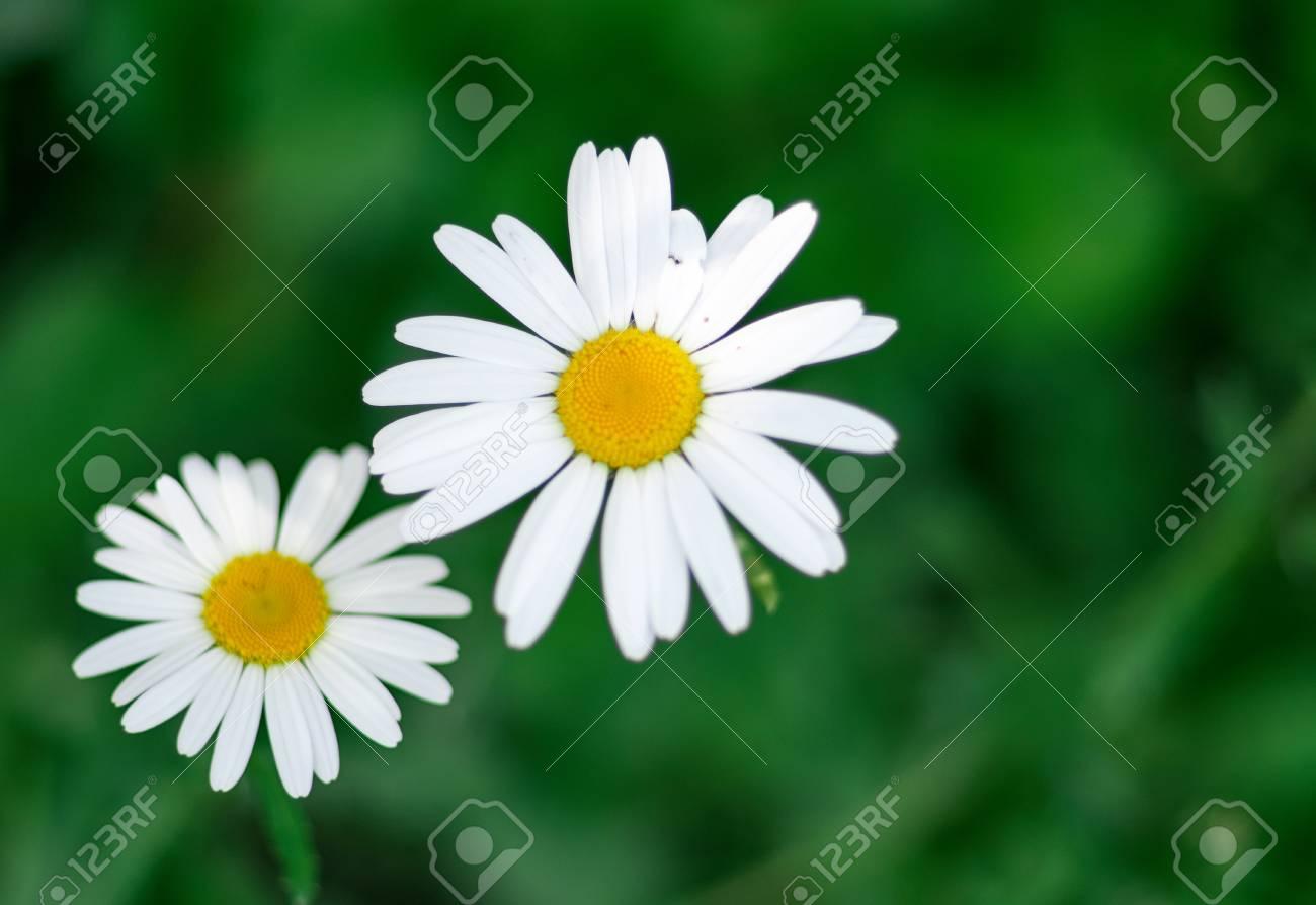 Macro of blooming beautiful white daisies flowers lovely blossom macro of blooming beautiful white daisies flowers lovely blossom daisy flowers background blured izmirmasajfo