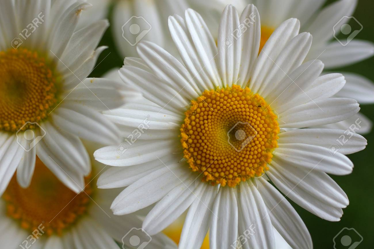 Macro of blooming beautiful white daisies flowers view from stock macro of blooming beautiful white daisies flowers view from above on lovely blossom camomile flowers izmirmasajfo