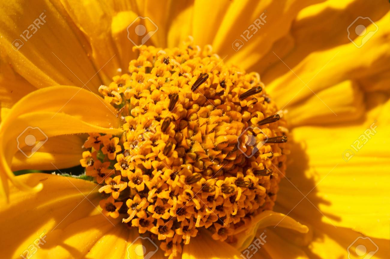 Macro Of Blooming Beautiful Yellow Daisies Flowers View From