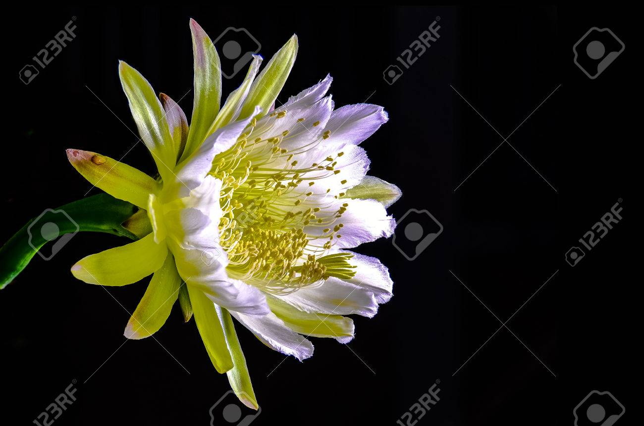 The beautiful large night blooming cereus flower on black background stock photo the beautiful large night blooming cereus flower on black background izmirmasajfo