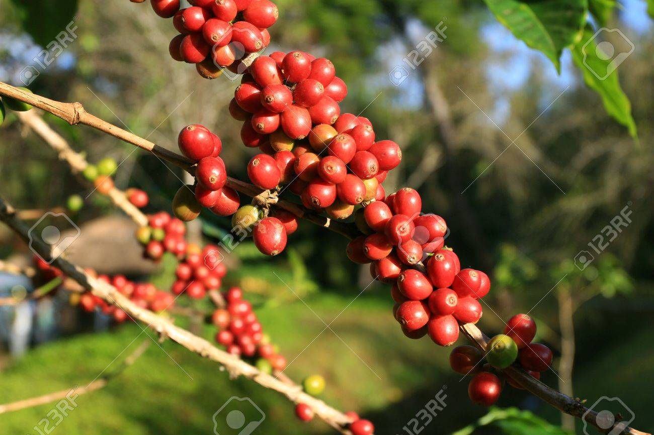 Coffee beans ripening on plant Stock Photo - 7034109