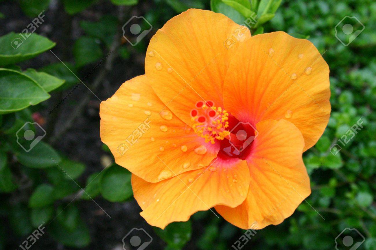 Yellow Hibiscus Stock Photo - 7153214