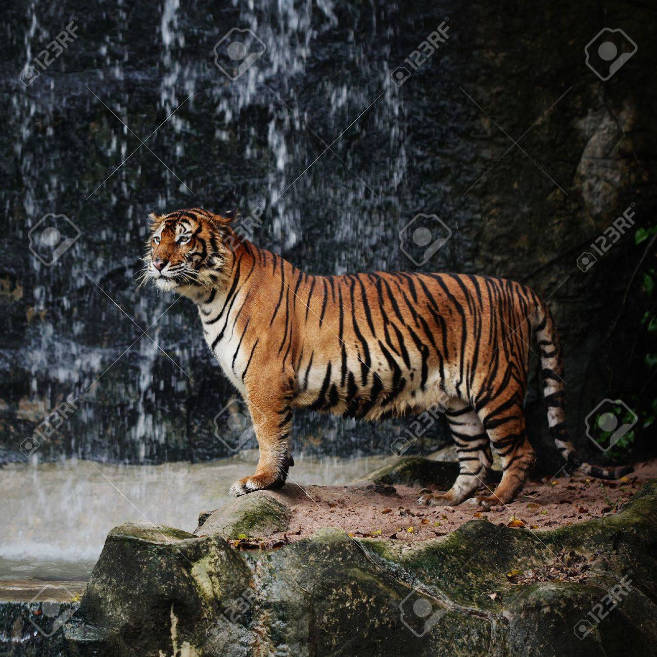 Large striped tiger Stock Photo - 7936428