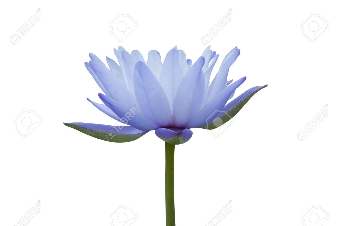 Water lily isolated on white background Stock Photo - 8253959