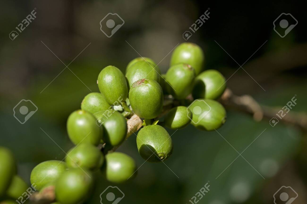 Green coffee beans Stock Photo - 8439636