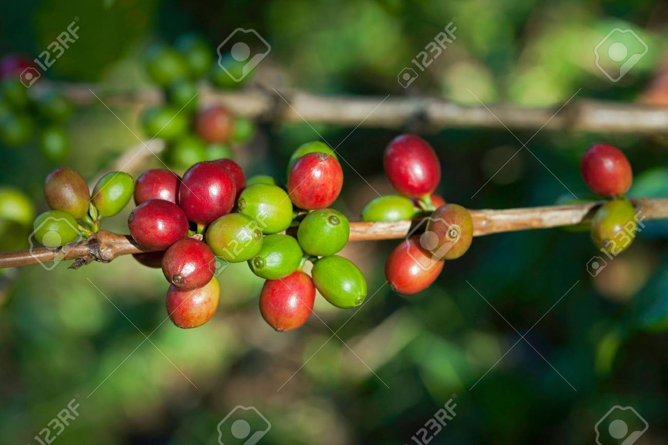 Coffee beans on plant Stock Photo - 8451060