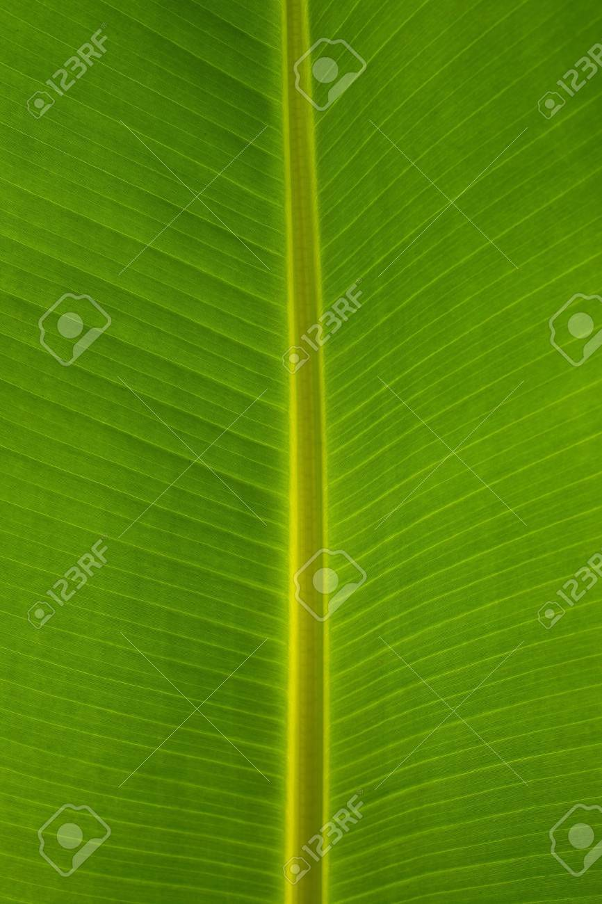 Banana Leaf background Stock Photo - 8647798