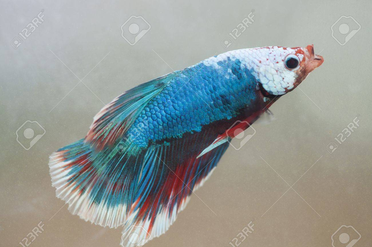 Siamese fighting fish Stock Photo - 8805820