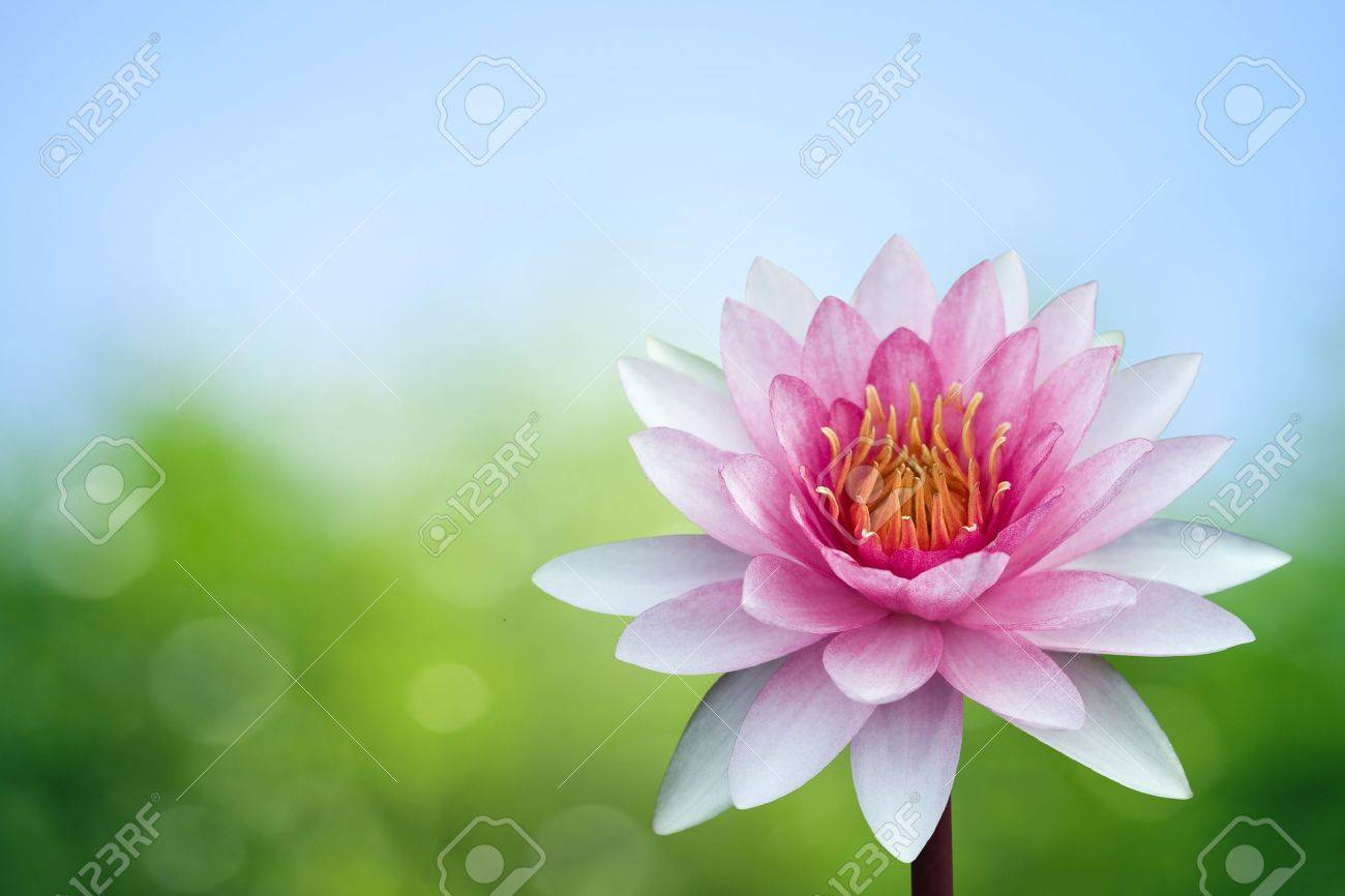 Red lotus on spring background Stock Photo - 9535820