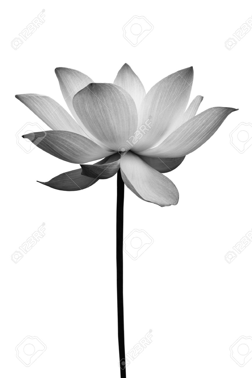 Lotus in black and white isolated on white Stock Photo - 9576545