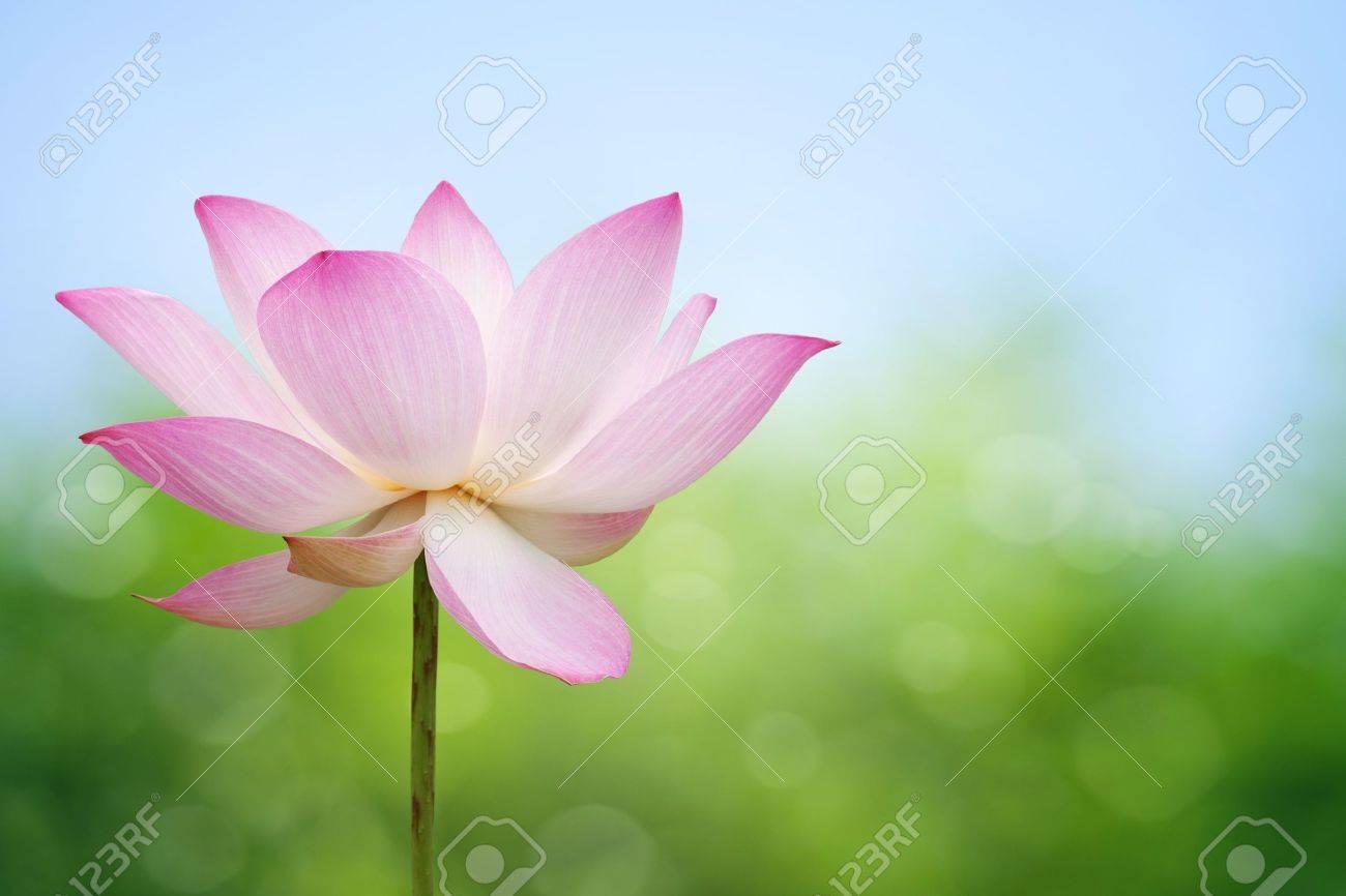 Lotus blossom Stock Photo - 9576571
