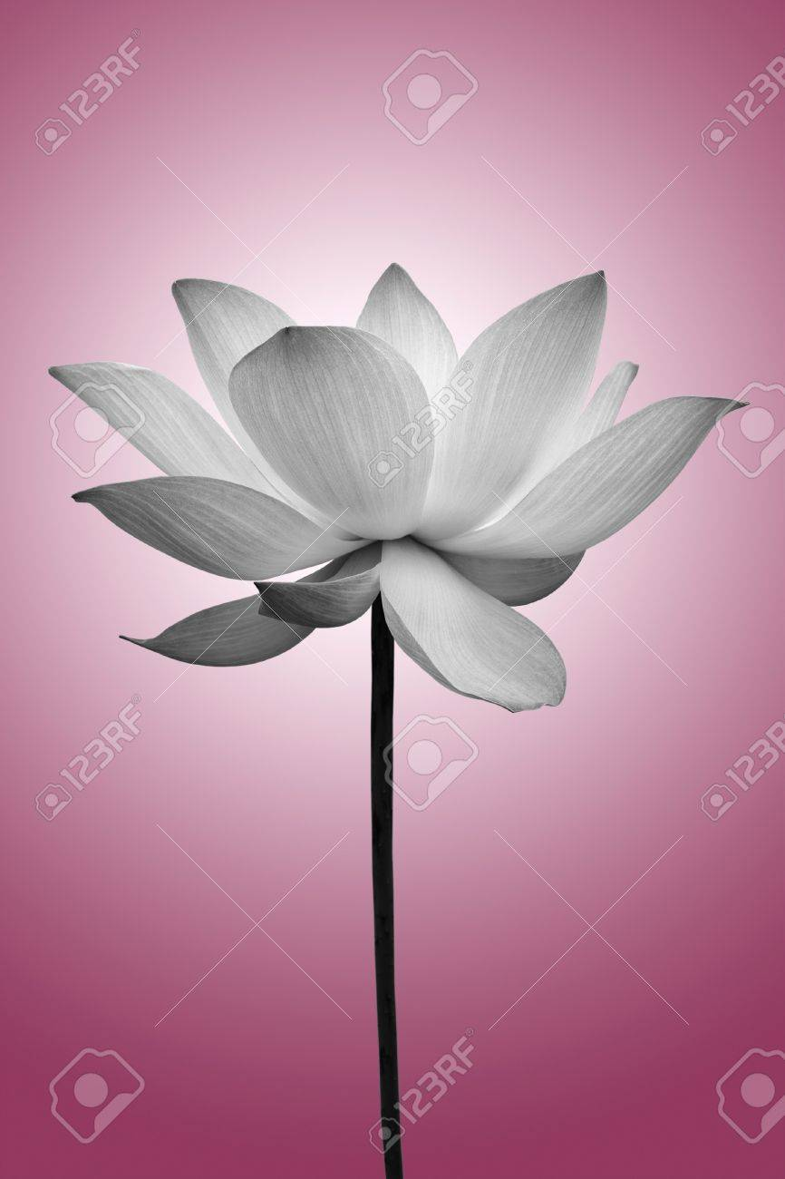 Lotus in black and white Stock Photo - 9576549
