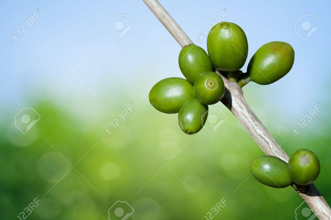Coffee beans growing Stock Photo - 9667879