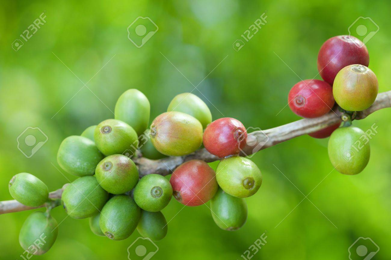 Coffee beans growing Stock Photo - 9667881