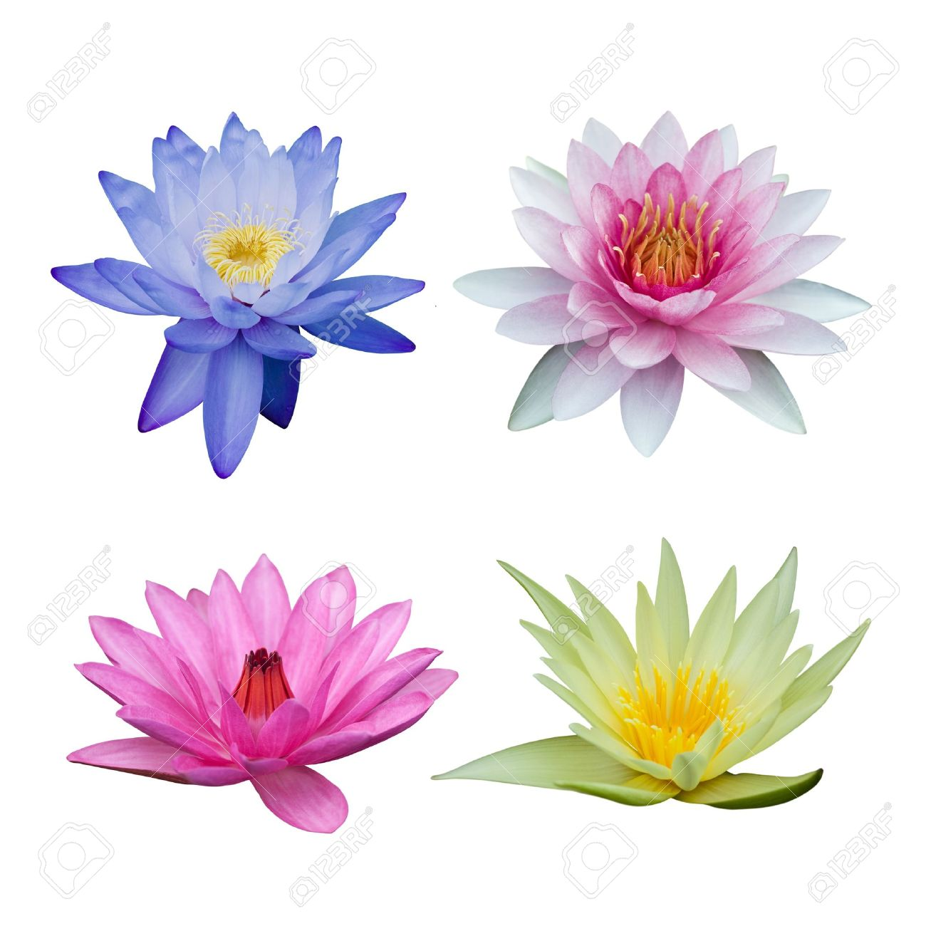 Water lily set isolated on white Stock Photo - 9667898