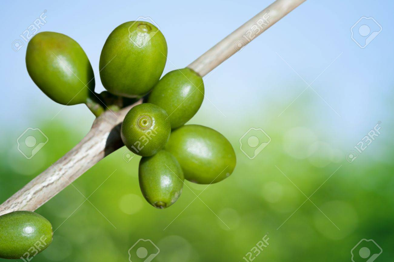 Coffee beans growing Stock Photo - 9744328