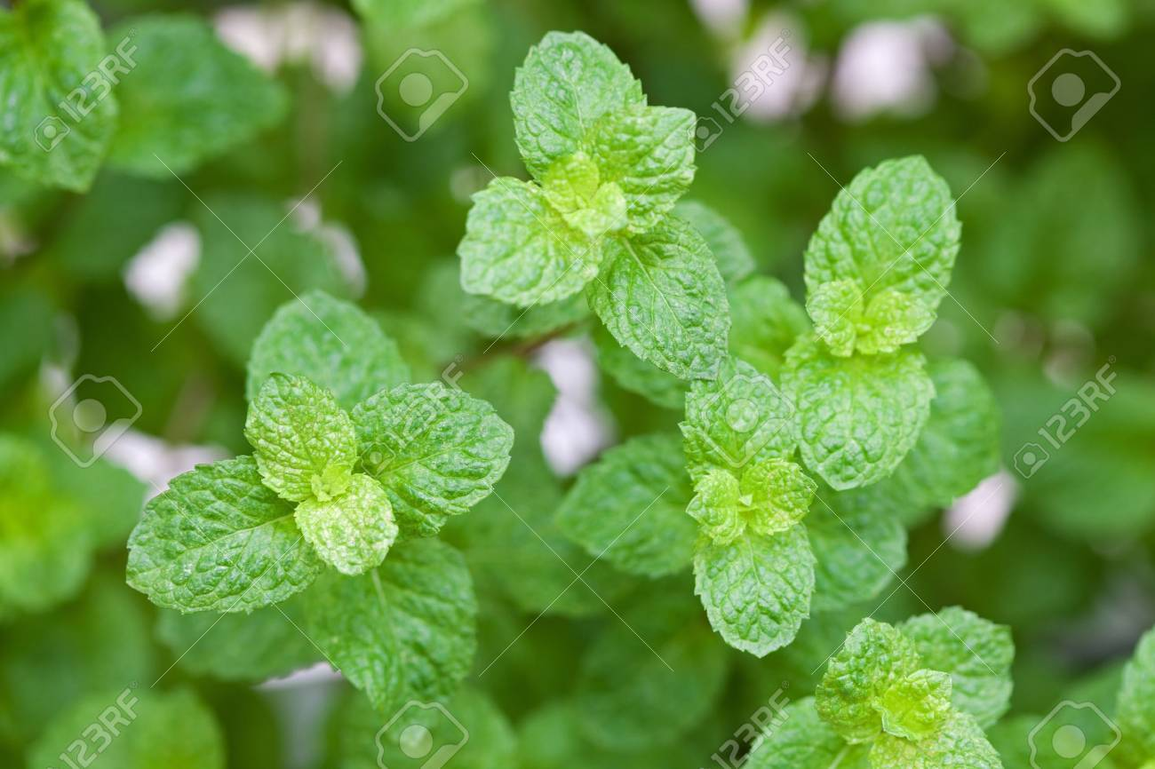 Mint leaves Stock Photo - 11721500