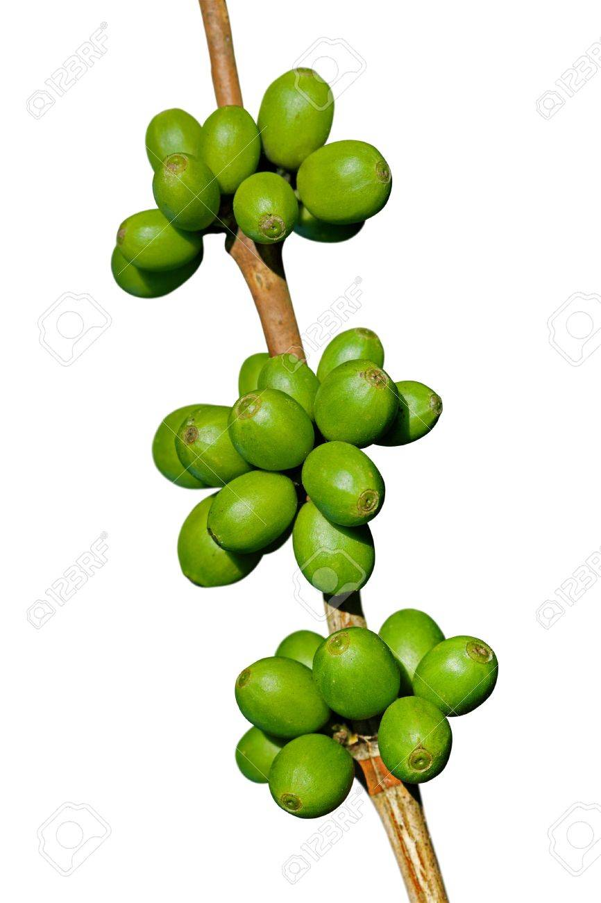 Green coffee beans isolated on white Stock Photo - 11883333