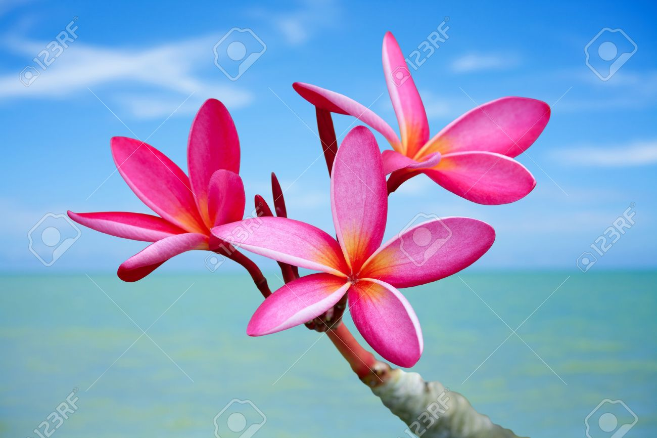 plumeria flowers on the stock photo picture and royalty
