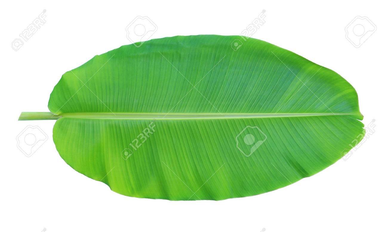 Banana leaf isolated on white background Stock Photo - 30511667