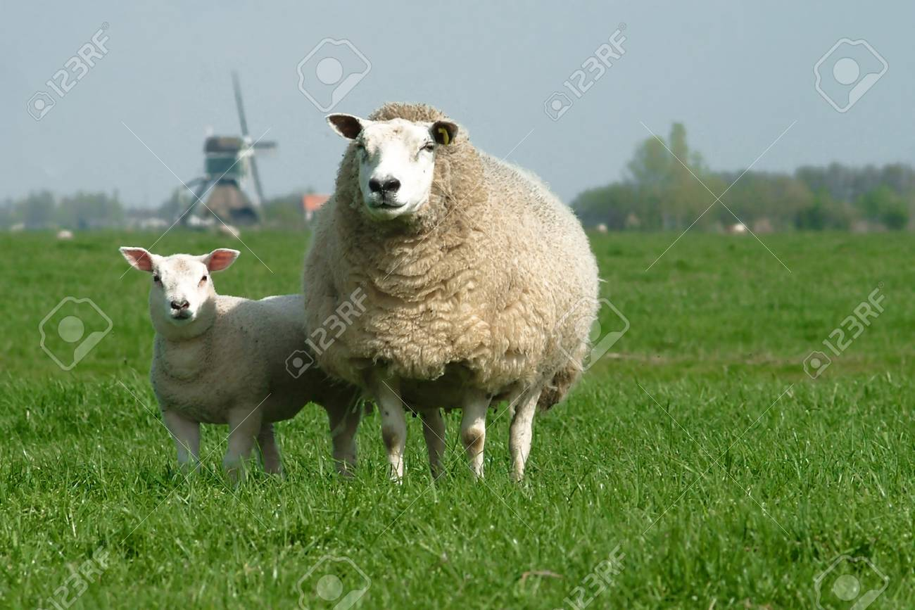 a sheep on a green field or meadow Stock Photo - 753585