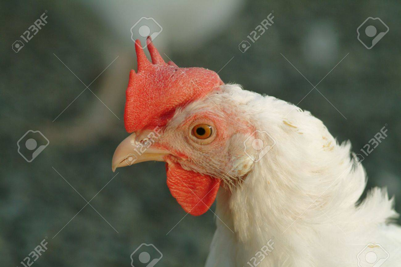 a detail of a head of a white chicken Stock Photo - 758007