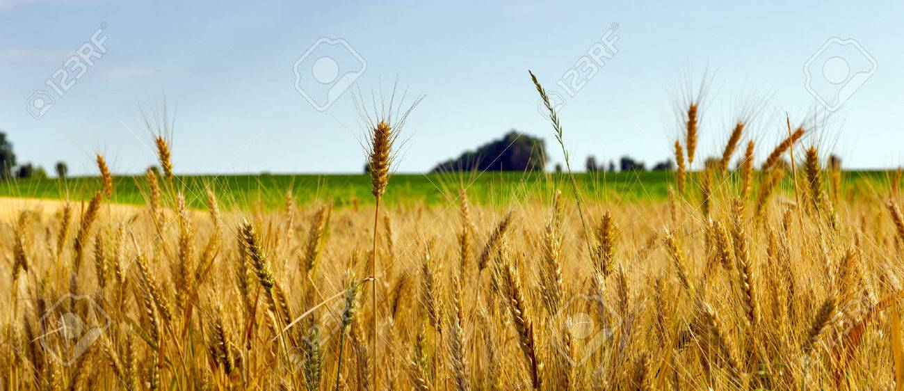 Wheat field ripe grow, agriculture - 42534979