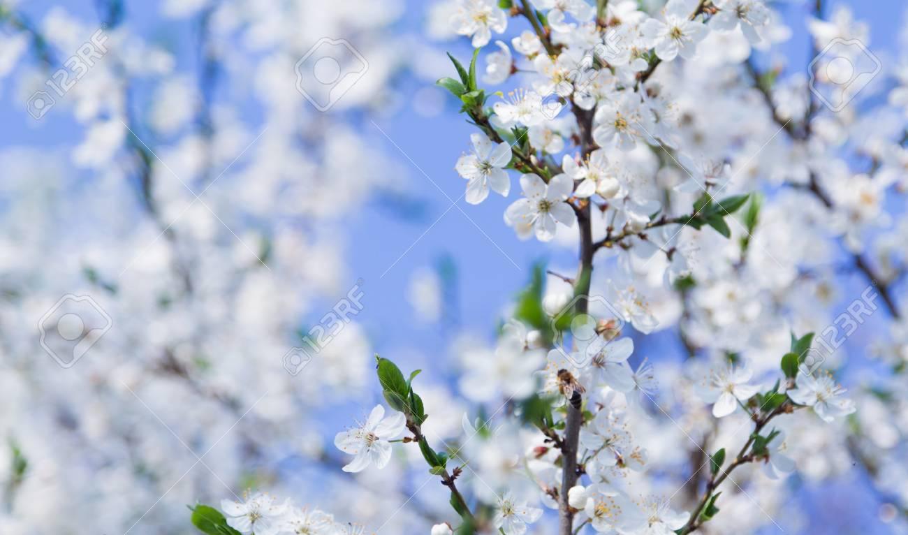 Fleurs De Printemps Belle Nature Scene Abeille En Floraison Fond D Ecran D Arbres Fruitiers Banque D Images Et Photos Libres De Droits Image 55422587