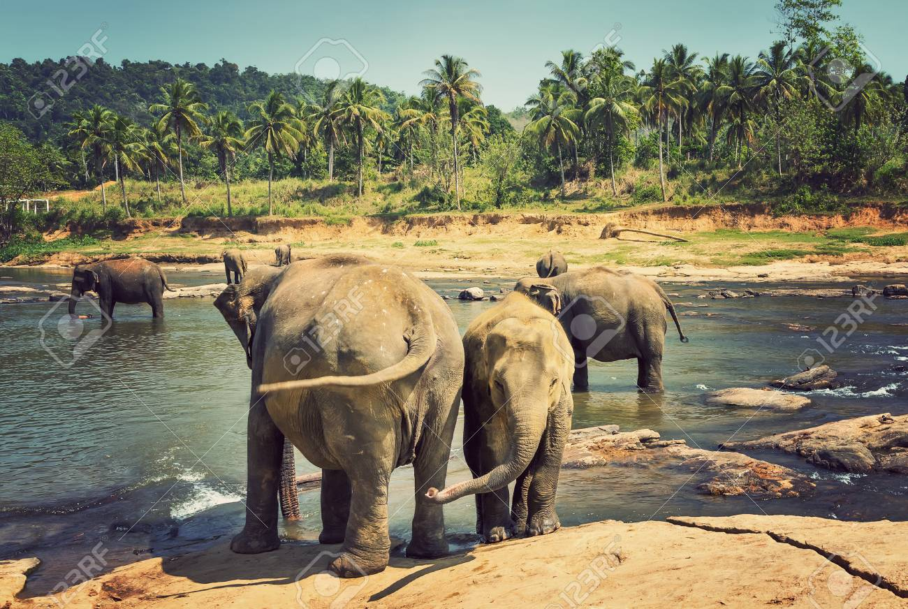 Are Elephants Mammals >> Asian Elephant In River Of The Jungle Elephants Are Large Mammals