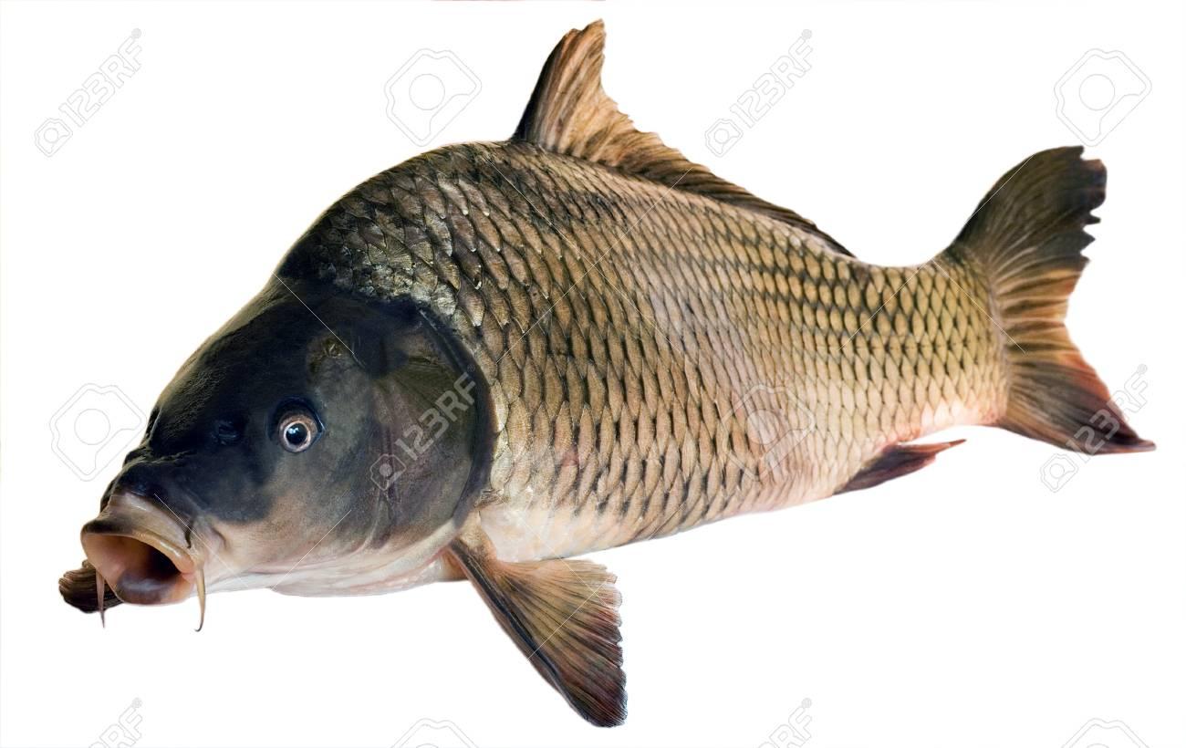 What to catch white carp 65