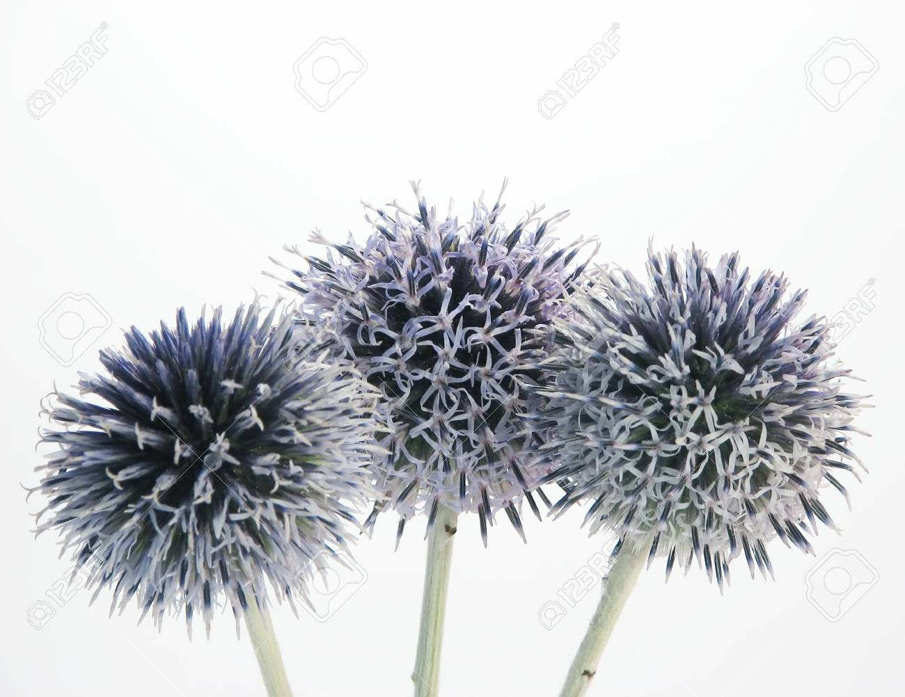 flora, nature composite : three blue thistly flowers on white background Stock Photo - 1534533