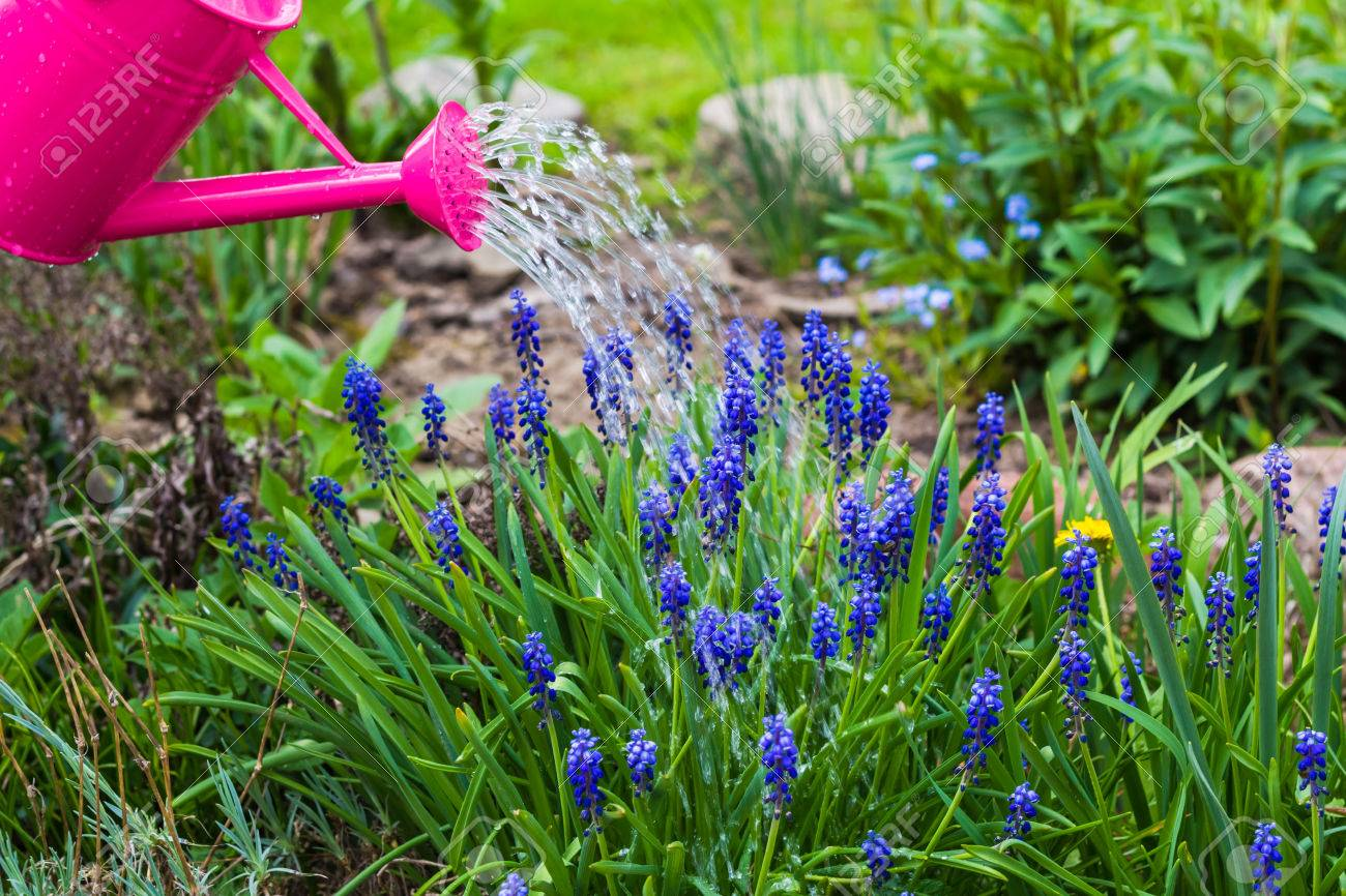 Spring Works In The Garden: Watering Plants Watering Can Stock Photo    28054056