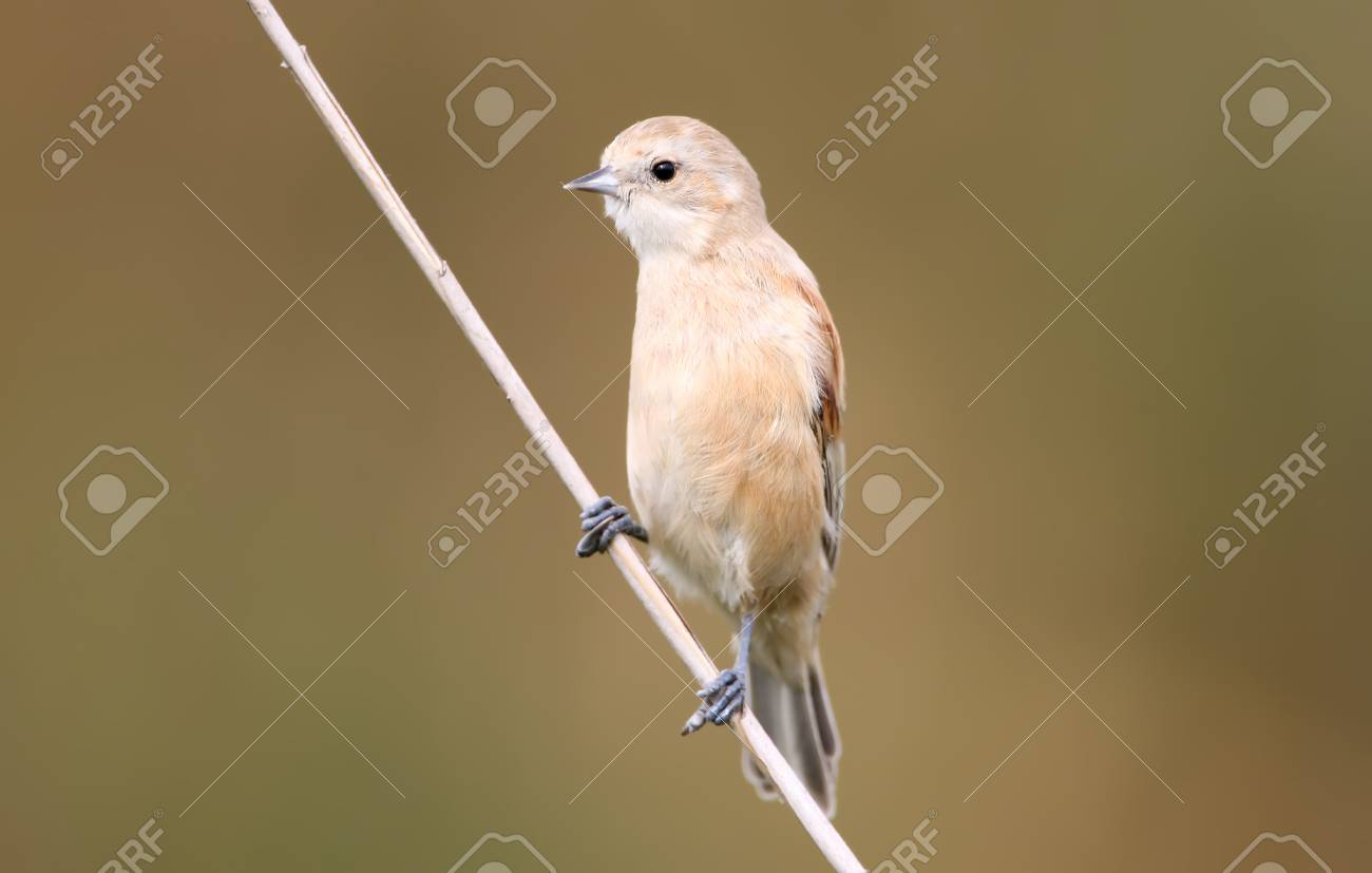 Young Pendulin Tit On The Reed In Soft Morning Light. Stock Photo