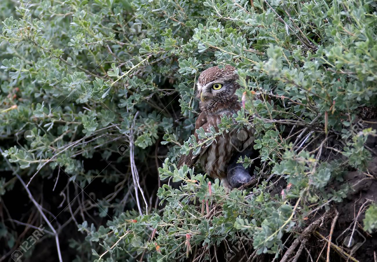 Stock Photo - Unusual view on adult little owl in big grass