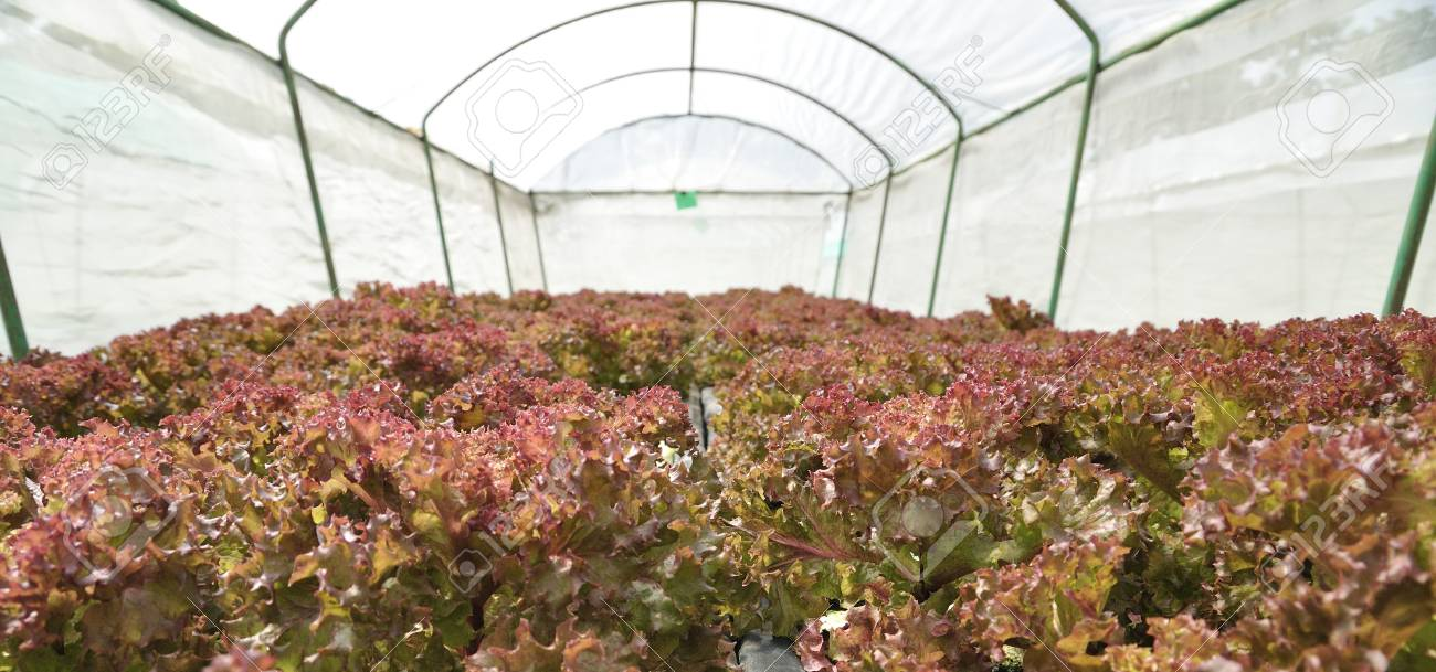 Red lettuce growing in a plant nursery in Thailand